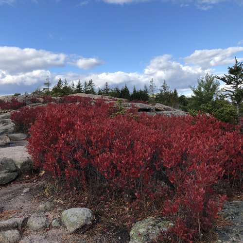 Blueberry bushes turn bright red in autumn.